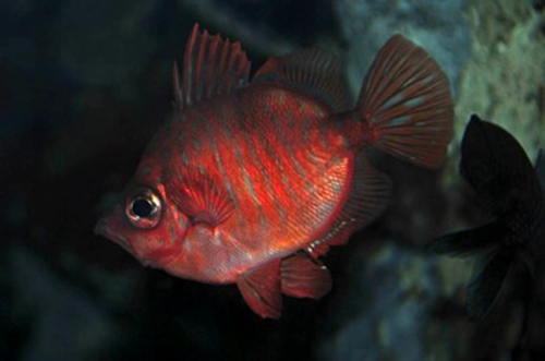 Male boarfish, Capros aper