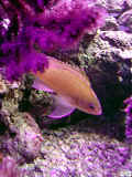 Anthias_1.jpg (70652 byte)